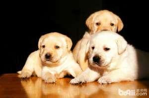 a_拉布拉多几岁了 如何判断年龄-狗狗品种[新闻]